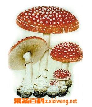 果蔬百科采蘑菇